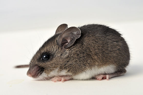 Rodents Rats Mice Mouse Removal Exterminator Pest Control Albany Rensselaer Troy East Greenbush Amsterdam Gloversville Johnstown Colonie Schenec