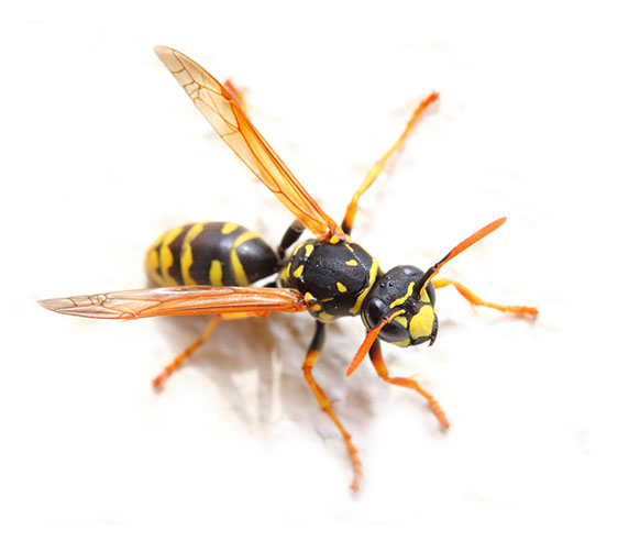 Yellow Jackets Wasps Bees Nest Removal Exterminator Pest Control Albany Rensselaer Troy East Greenbush Amsterdam Gloversville Johnstown Colonie